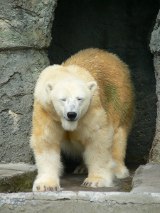 polar icecaps melt